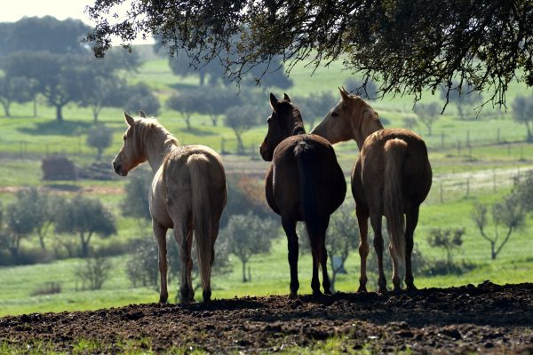 Three horses standing under the tree